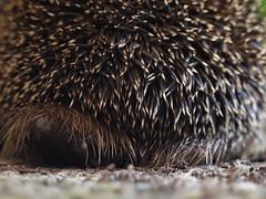 Hedgehog Alert! (rogiro) Tags: life brown black freeassociation animal stone danger yard warning garden back backyard shot bum ants spike prick hedgehog alive behind spikey prickly buttocks egel puffedup
