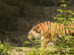 Kyiv zoo. Tiger