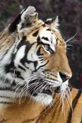Daydreamer (Clare L H) Tags: nature animal zoo wildlife tiger bigcat lovepeace soe wcw flamingoland wonderworld blueribbonwinner inspiredbylove beautifulexpression specanimal golddragon abigfave platinumphoto flickrhappy diamondclassphotographer theunforgettablepictures theunforgettablepicture platinumheartawards goldwildlife goldstaraward natureselegantshots itsazoooutthere rubyphotographer qualitypixels damniwishidtakenthat alwaysexc naturescreations fotofanaticus flickrbigcats flickrsmasterpieces wildcatworld