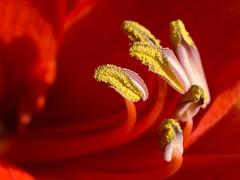 The gold in red (Claudio Luciano) Tags: red flower macro nature colors closeup reflex natura olympus antera fiore rosso colori 43 anther e510 inyoureyes zd uro 35mmmacro zuikodigital 35mmf35macro raggioblu digitalphotoart olympuse510 naturewatcher zuiko35mmf35macro microsporangium natureselegantshots spiritofphotography mimamorflowers flickrflorescloseupmacros panoramafotográfico