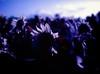 gathe(RED) (0bli0) Tags: flowers red mamiya japan 645 hokkaido dof kodak sunflowers infrared 80mm chitose orangefilter stopthecar aerochrome sekorc afdiii doityourselfcolour