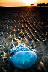 Jelly At Nudgee (Matthew Stewart | Photographer) Tags: blue orange beach yellow sunrise star jellyfish matthew brisbane stewart qld queensland jelly ripples nudgee