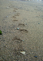 Bear tracks on the beach to Carmanah