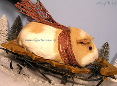 Guinea Pig Sledding