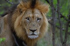 Lion (Arno Meintjes Wildlife) Tags: africa wallpaper nature southafrica bush wildlife lion safari bigcat predator rsa krugernationalpark carnivore pantheraleo parkstock genuspanthera arnomeintjes