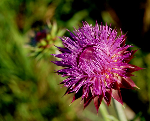 Musk Thistle 2