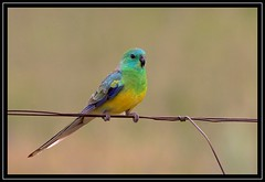 Red-rumped Parrot, Lake Gininndera, 27.11.08 (Callocephalon Photography) Tags: bird fence pose wire pair parrot australia canberra consolation redrumpedparrot psephotushaematonotus lakeginnindera avianexcellence redrumps vosplusbellesphotos lookingforthenonexistentcommonsandpiper