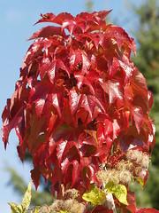 Autumn colors of a wild wine. (Bienenwabe) Tags: autumn autumncolors vitaceae parthenocissus bostonivy wildwine wilderwein parthenocissustricuspidata