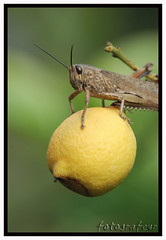 cute grasshopper (aziouezmazouz) Tags: macro animals composition insect nikon colours bokeh d2x grasshopper beautifulscenery bellissima naturesfinest awesomeshot sigma70300 vibrantcolours colourful nikond80 stunningsupershot notyournormalbug dragondaggerphoto dragondaggeraward