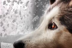 Longing for you (Emmanuelle Beausoleil) Tags: dog snow window look eyes malamute blueribbonwinner mywinners goldstaraward damniwishidtakenthat