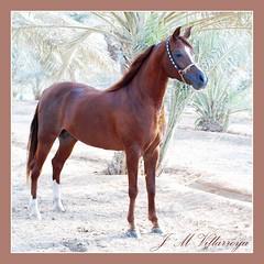 To Pongo - Arabian Horse - PA310156ts (jm_villarroya (more off than on !!!! )) Tags: soe qatar galope inspiredbylove bej abigfave shieldofexcellence goldstaraward zuiko70300 jmvillarroya multimegashot rubyphotographer damniwishidtakenthat jediphotographer dragondaggerphoto sailsevenseas
