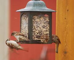 birds birdfeeder sparrow quail