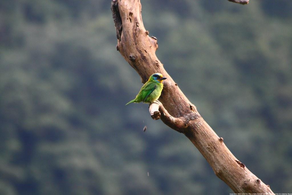 五色鳥 Taiwan Barbet - IMG_1744