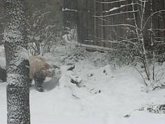 Video: Tai stands up to catch snowflakes and bamboo! (RoxandaBear) Tags: winter white snow cold standing walking zoo march video panda tai dcist nationalzoo paws giantpanda snowfall 2009 videos pandas 1012 taishan giantpandas 3209 pandayard yard1