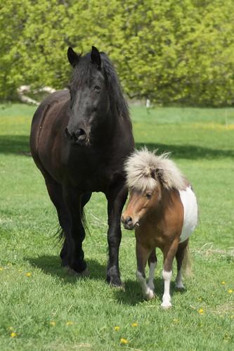 horses usa mare miniaturehorse mariah mn cosmos morganfresian gingerbreadhorse