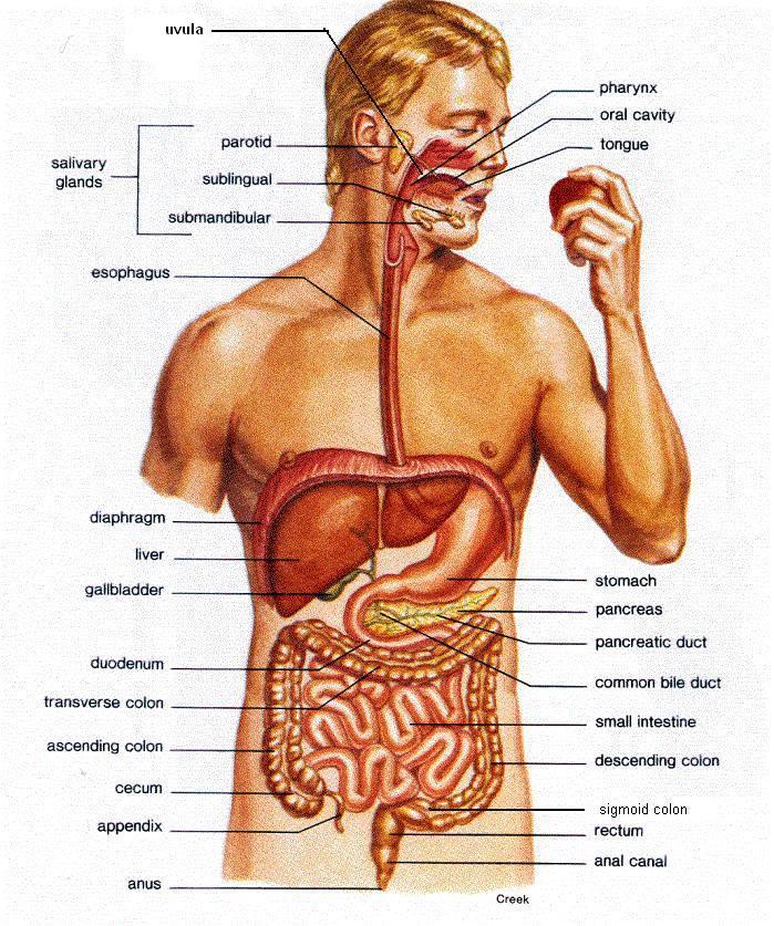 Digestive