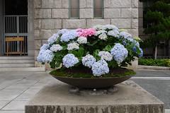 Kyoto City Hall Hydrangea