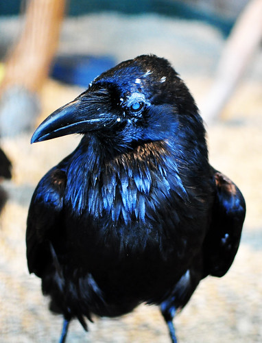 raven by hep