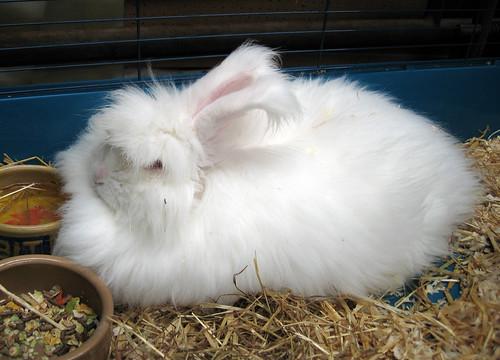 Jasmine the Angora bunny