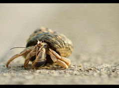 "One more shot from the hermit crab ""photo shoot"" :-) (btn1131) Tags: pets hermitcrabs nature animals sony a33 getty crabs tamron slt 70300 mygearandme"