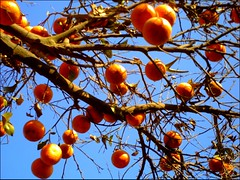 Orange (M.Rizwan Rafique) Tags: pakistan orange tree village pakistanvillage