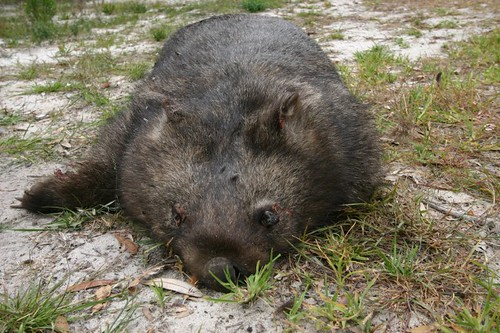 The dead wombat...Near Cape Conran, VIC.
