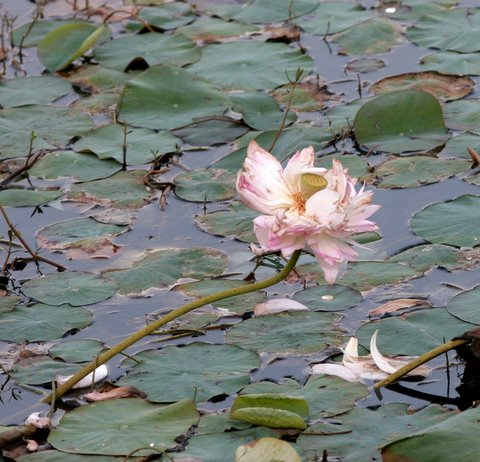 fading lotus lalbagh lake