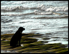 The Black Dog and the Sea (Ha-r-bin) Tags: ocean sea dog black beach rock taiwan explore blackdog 2007  laomei 0707 0709