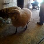 sheep thumbnail