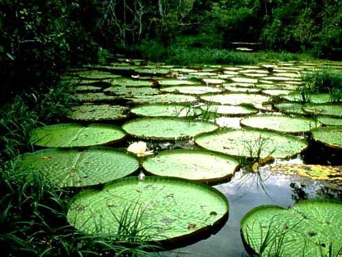 Victoria Regia flotando en el Amazonas