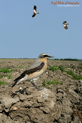Northern Wheatear (Nigel Blake, 2 million views Thankyou!) Tags: above northern displaying wheatear oenanthe vanellus lapwings