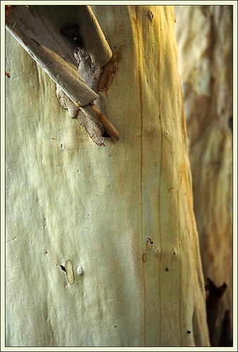Shedding Bark