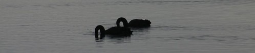 Black swans at a river mouth near Brighton, south of Dunedin. NZ.