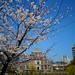 原爆ドーム:桜の原爆ドーム Atomic Bomb Dome, with cherry blossoms