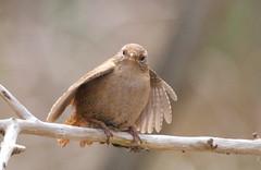 Wren, Grdesmutte - IMG_0522a (Ablume - back on naturewatch) Tags: bird wren fugl troglodytes fures farum grdesmutte funfanphotos bestof2008 stopstealingmypictures