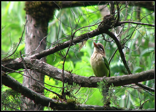 Small Green Barbet