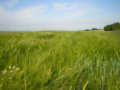 FIELDS (Aurel...) Tags: green barley landscape wheat champs fields bl orge