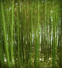 into the bamboo............. (Kaos2) Tags: bamboo kaos2 huntingtonbotanicalgardens colorphotoaward sanmarinocalifornia