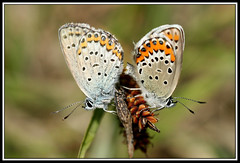 Couple de Plebejus sp. (didier.bier) Tags: 2 two butterfly insect flying couple papillon allemagne insecte lycaenidae plebejus habkirchen 100mmmacrof28 canoneos400d collectionnerlevivantautrement plebejussp