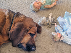 Bad Dog, Beau!  Bad Dog! You scalped the Guardian Angel of Abused Dolls! [Is that a look of remorse, shame or grief?....No, he is exhausted from the carnage and sound asleep] (shadowplay) Tags: dolls ears remorse bloodhound beau decapitation scalped severehaircut guardianangelofabuseddolls