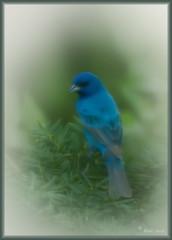 Indigo Bunting Vision (blair4bears) Tags: blue bird birds dream vision indigobunting