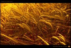 A Grain of June (Gert van Duinen) Tags: nature field june countryside dof masculine digitalart grain harvest crop chapeau landschaft landschap ripen dutchartist graincart anawesomeshot landschaftsaufnahme postbread cresk tosseling hoyapro1digital77mmmcuv0 nikond80mbd80 tokinaatx124prodx12~24mmf4 gertvanduinen