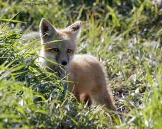 Fox Kit - Karns Meadow, Jackson, WY