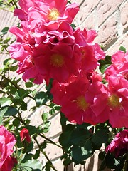 Climbing Roses (Adventuress Heart) Tags: pink trees roses summer plants flower green nature colors fruits grass garden outdoors spring tulips gardening bees lawn soil pollen seedlings climbingroses