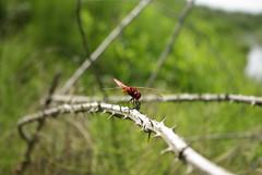 Λιβελούλα / dragonfly (Lefteris Zopidis) Tags: dragonfly hellas insects greece thessaloniki incect blueribbonwinner lefteris ελλάδα macophoto θεσσαλονίκη έντομο zopidis zopidislefteris leyteris ελλάσ ζωπίδησ ελευθέριοσ λευτέρησ ζωπίδησλευτέρησ φλίκερσ greekflicker φλίκερ εντομο λιβελούλα λεφτέρησ