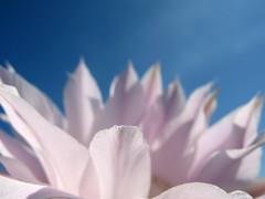 Suave (doisemum) Tags: flores macro suavidade echinopsisoxygona goldenvisions