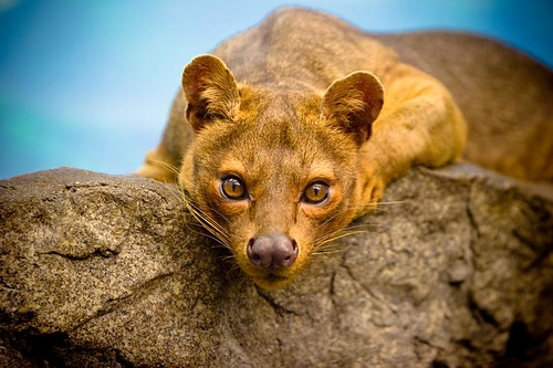 Fossa Stare Down by kellinahandbasket, on Flickr