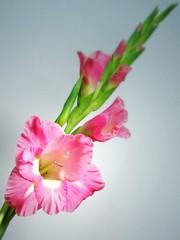 Gladiolus (tanakawho) Tags: pink plant flower macro nature stem soft center pistil petal stamen bud gradation frilly tanakawho goldstaraward gradiolus