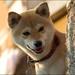 柴犬:柴犬 Sweet Taika 柴犬