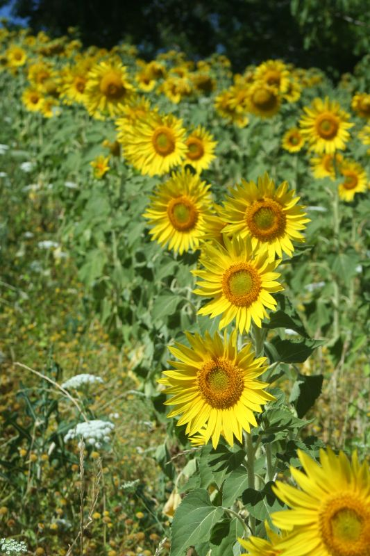 Sunflowers_6969